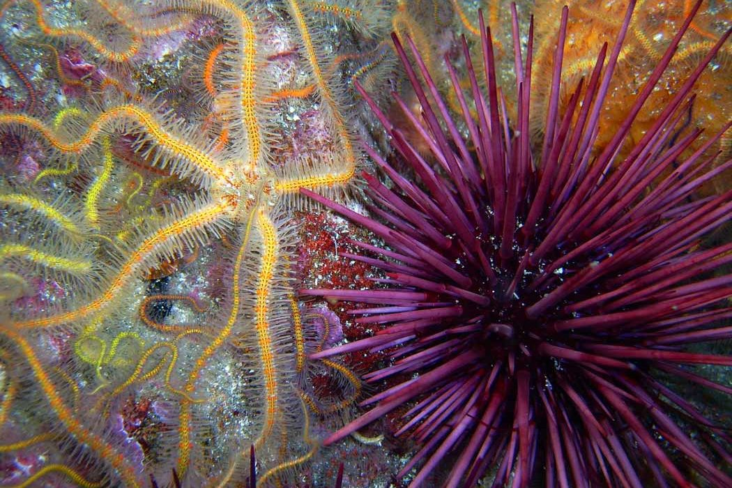 brittle star and urchin