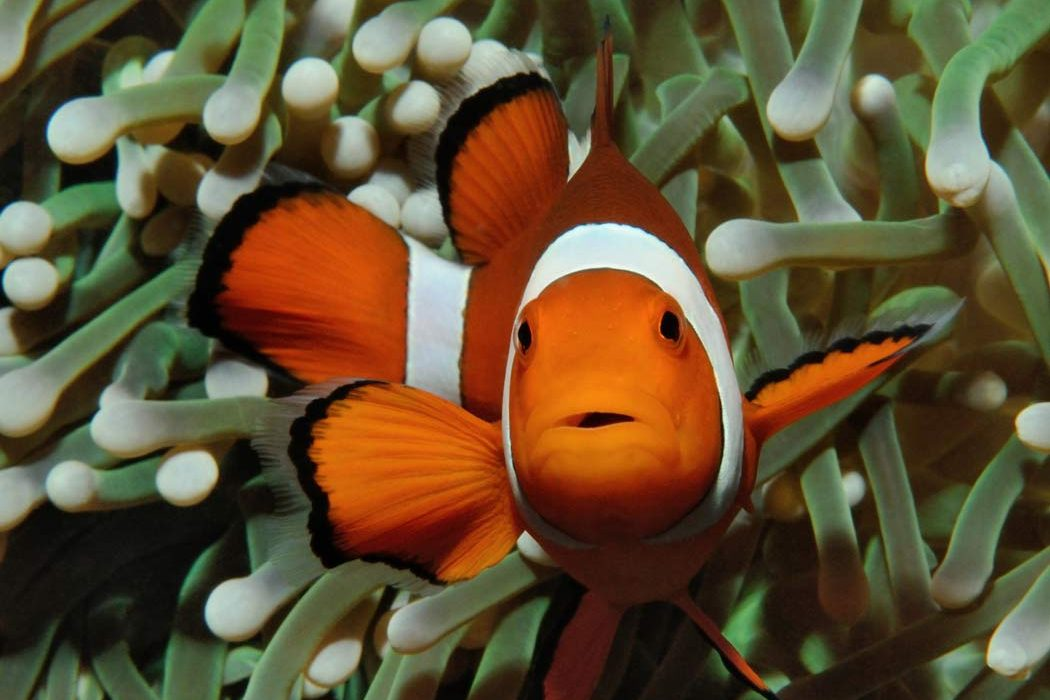 clownfish - invasive species