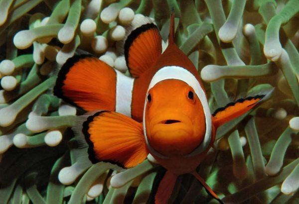 clownfish - invasive species