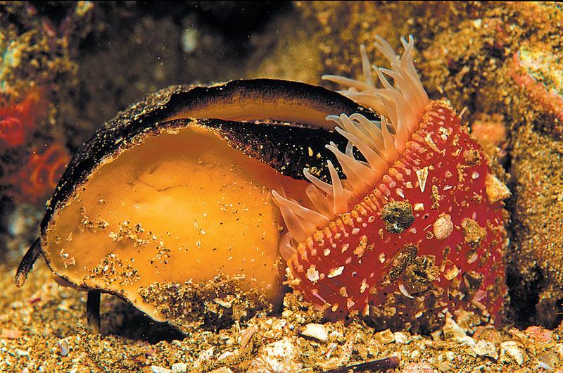 anemone eating mollusk