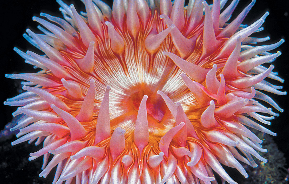 Tentacalizing A Look At Anemones Scuba Diving News Gear Education Dive Training Magazine