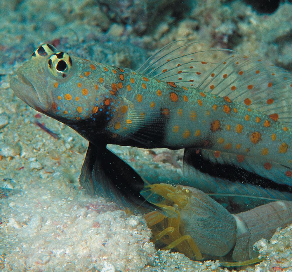 blind shrimp