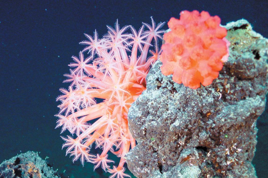 deep sea soft coral