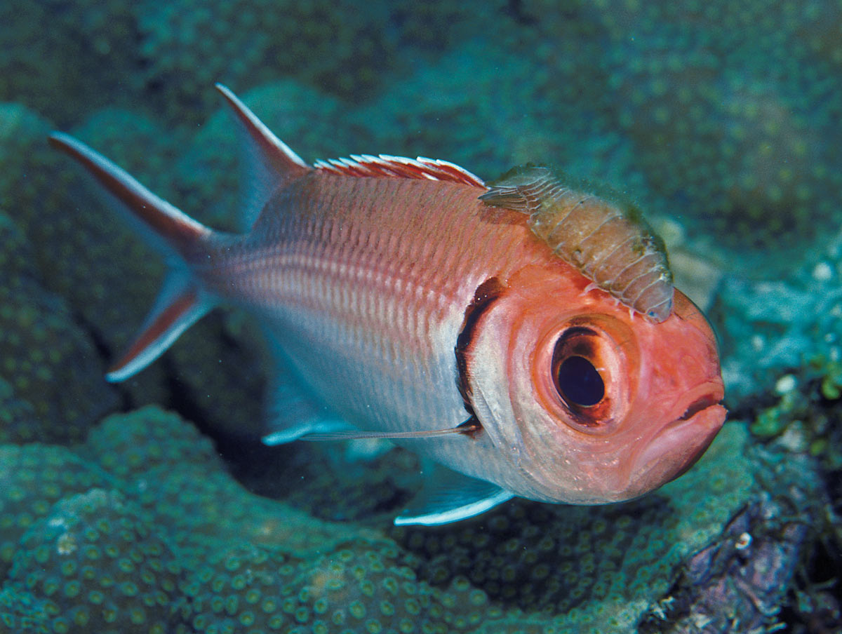 isopod and blackbar soldierfish