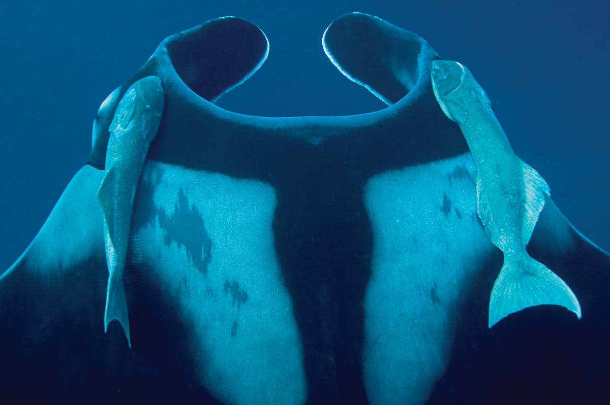 remora and manta ray