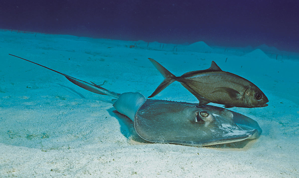 southern stingray and bar jack