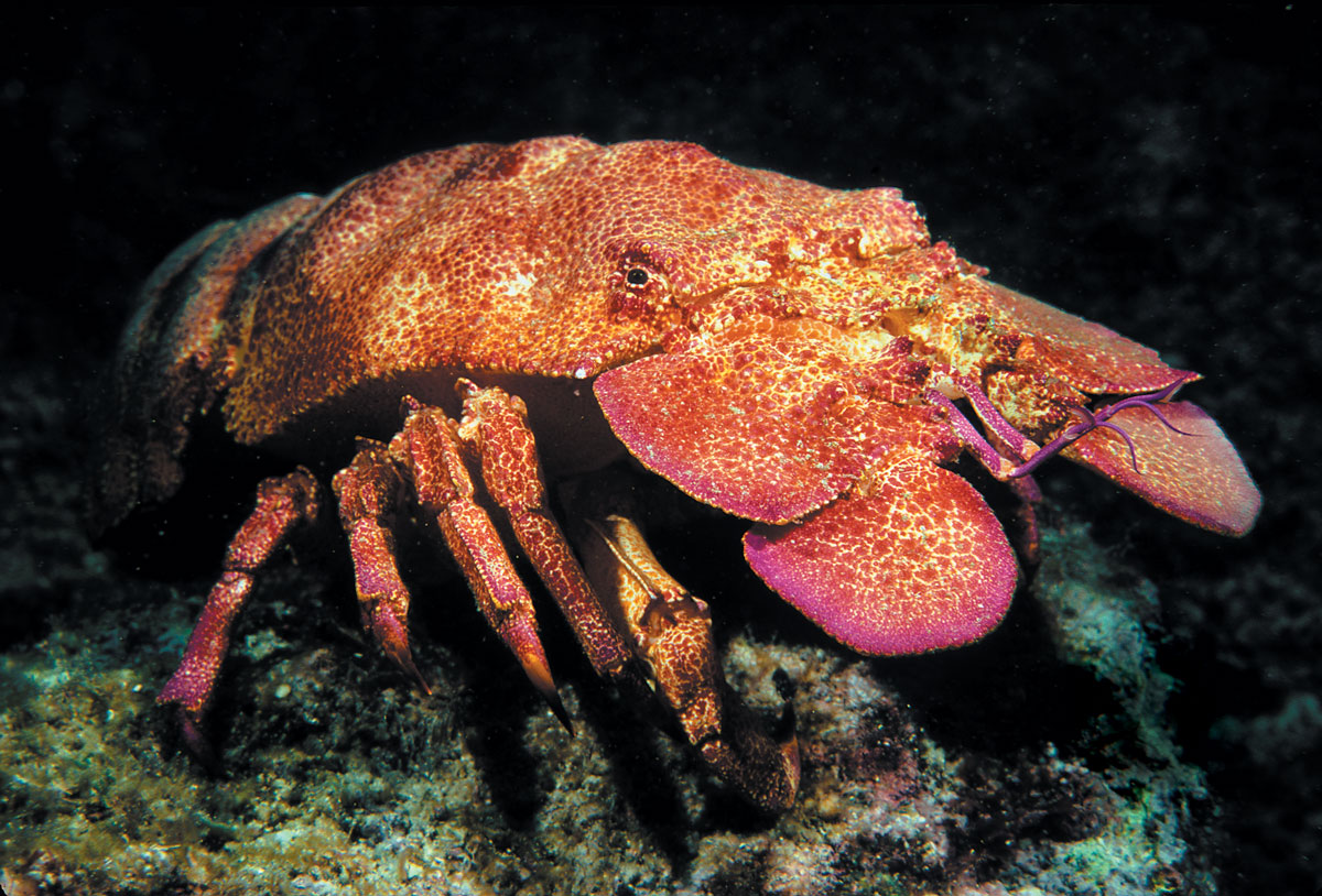 slipper lobster