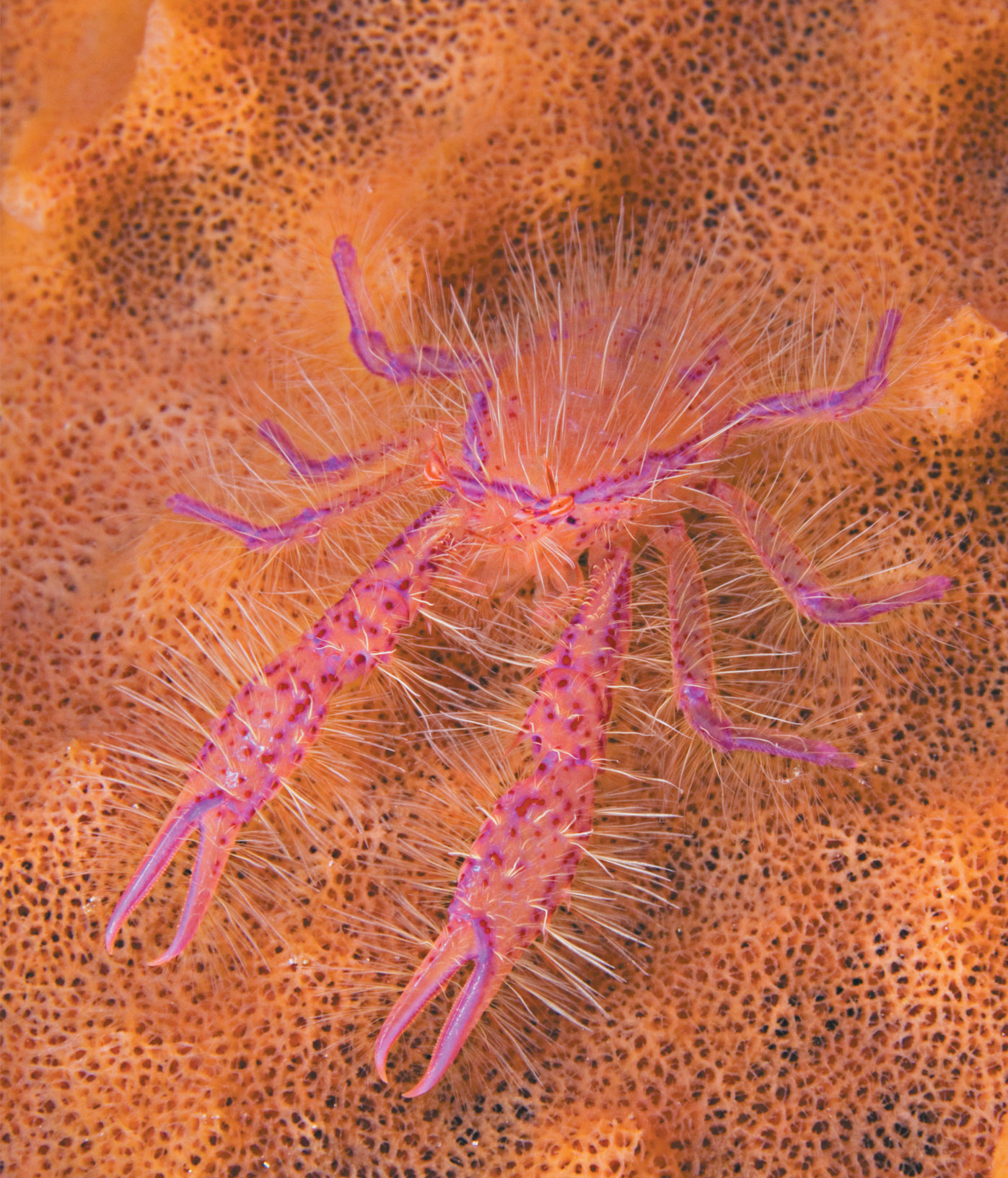 hairy pink squat lobster