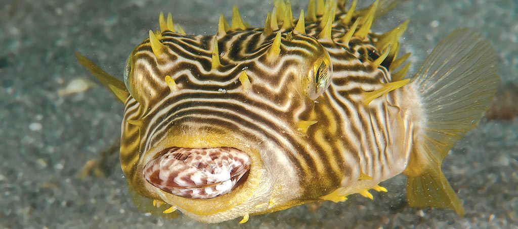 Scuba Diving | Burrfish