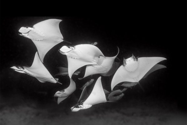 Scuba Diving | Mobula Rays