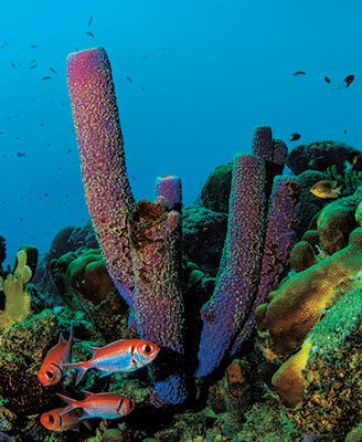Bonaire tube sponges