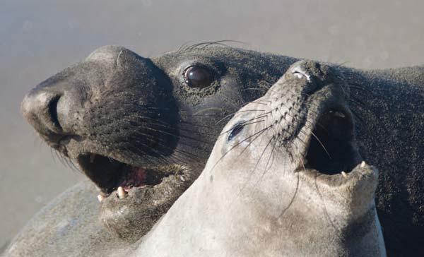 Pinnipeds: elephant seals