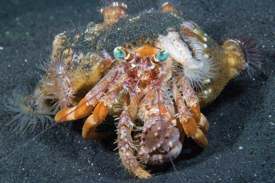 Arthropods - hermit crab | Scuba Diving