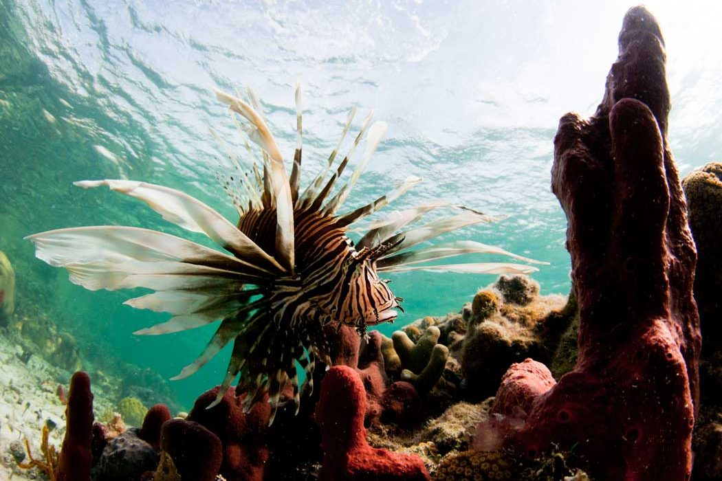 Lionfish Caribbean Ocean