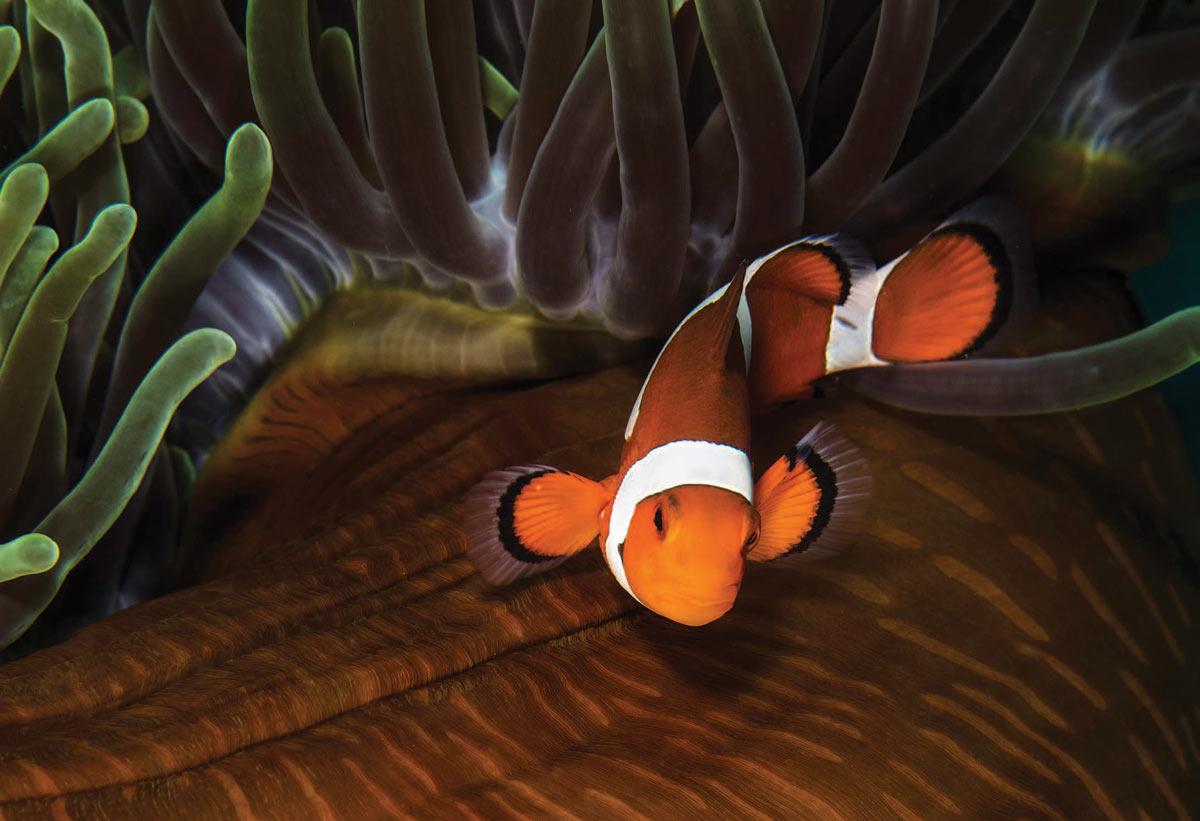 Clownfish - Philippines
