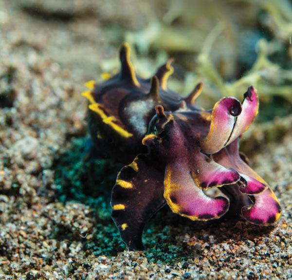 Cuttlefish - Philippines
