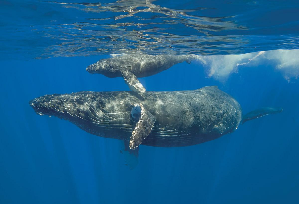 Cetaceans - humpback whales