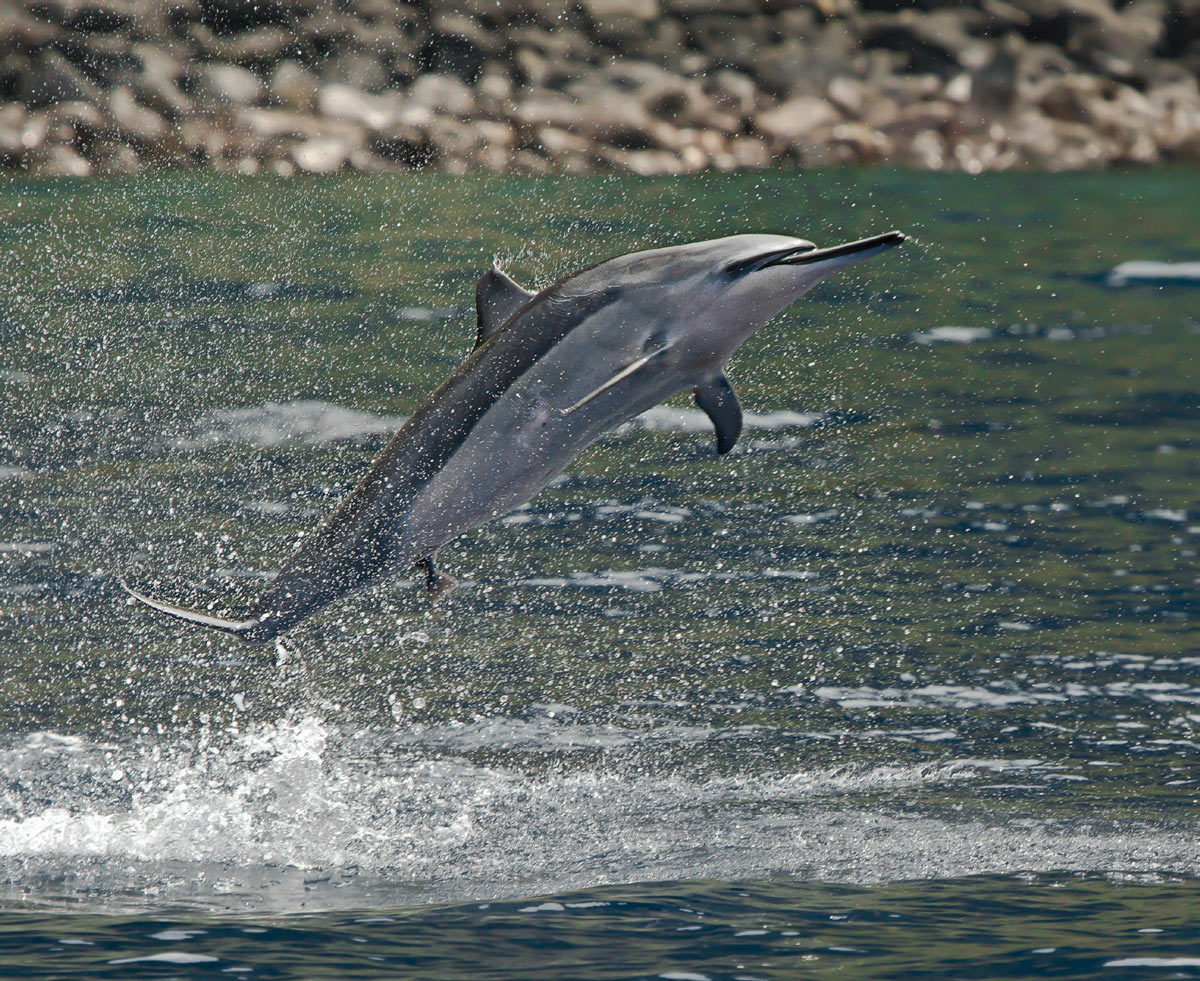 Spinner dolphin - scuba diving in Hawaii