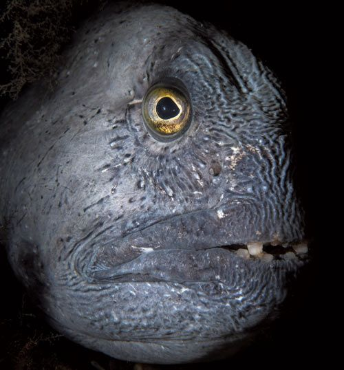 Atlantic wolffish