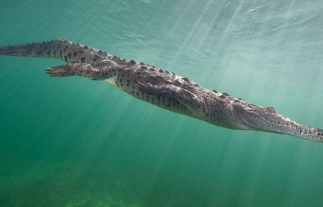 Cuba Crocodile