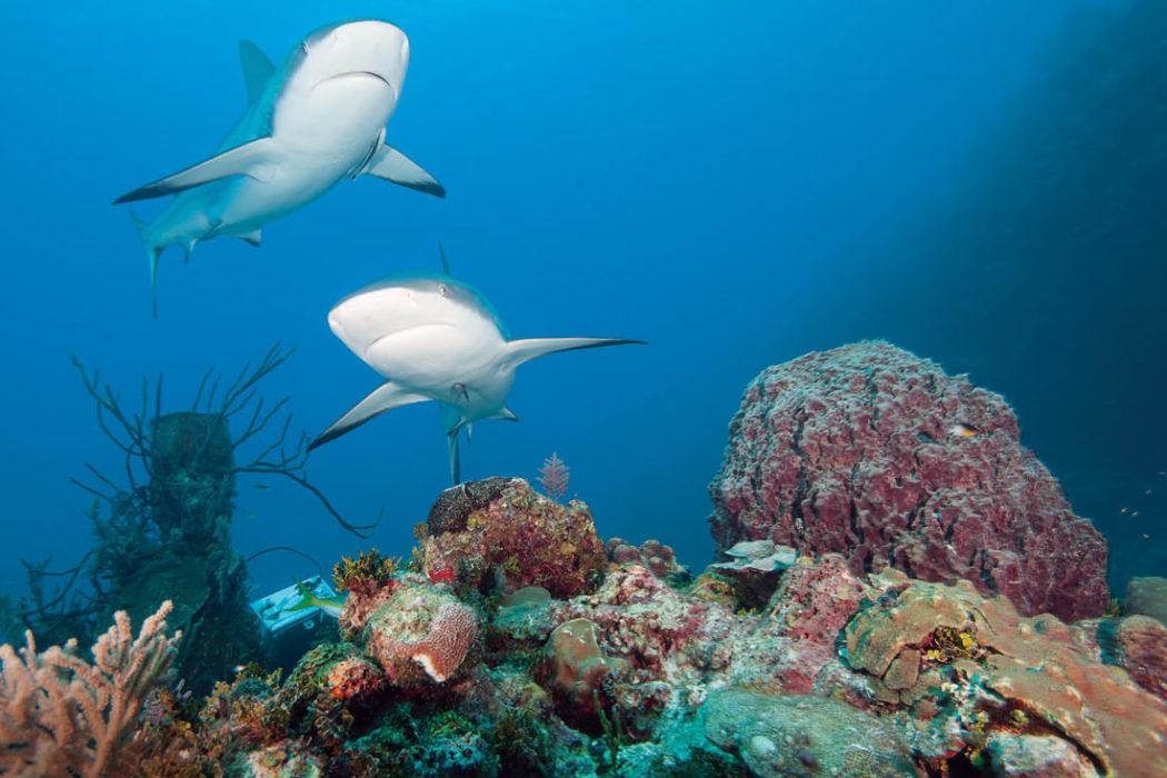 shark Cuba