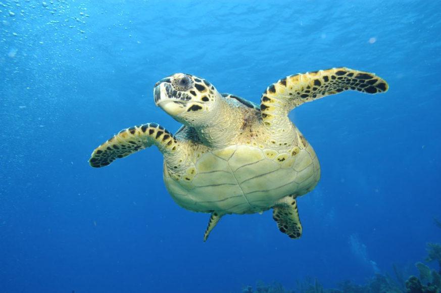 Turtle - Anthony's Key Resort
