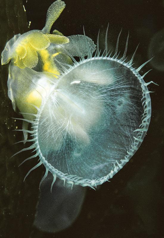 lion's mane nudibranch