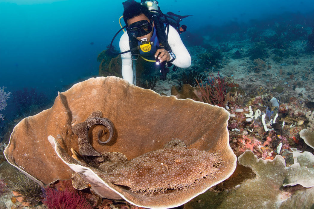 Adult tassled wobbegong shark