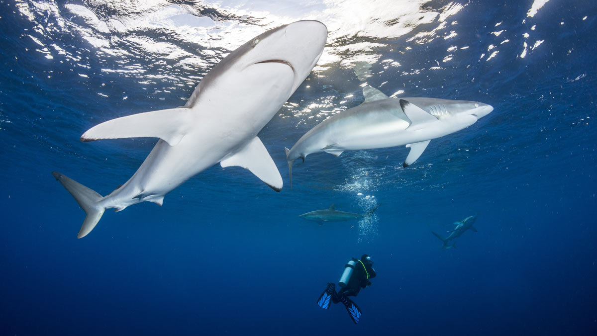 scuba diver and sharks