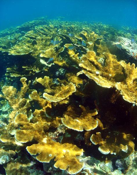 Elkhorn coral, Horseshoe Reef