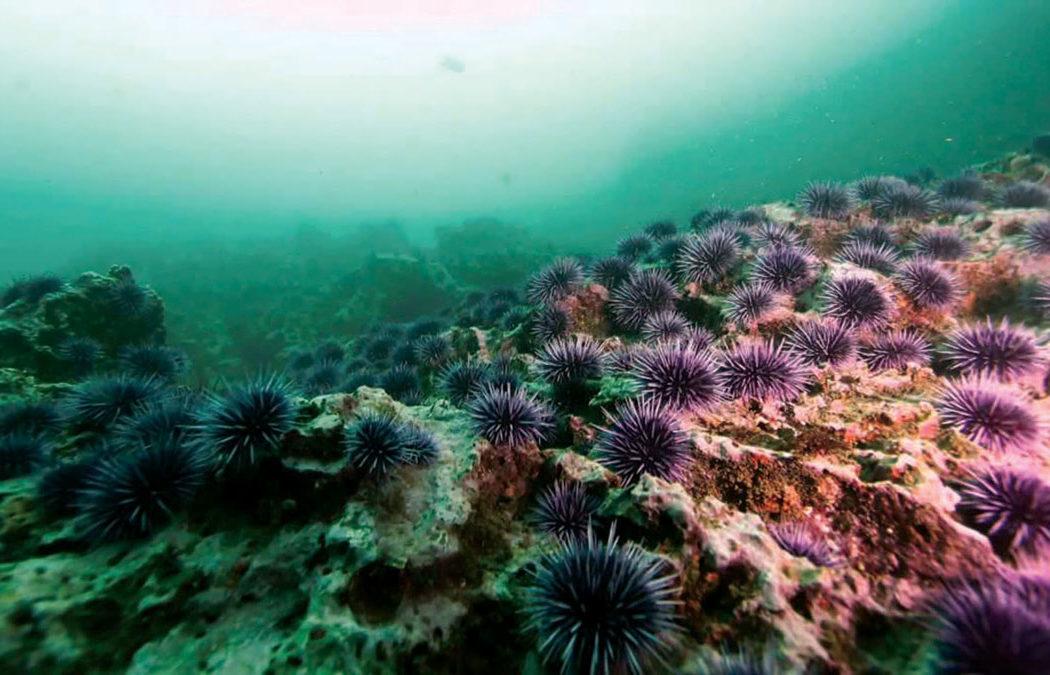 Purple Urchins