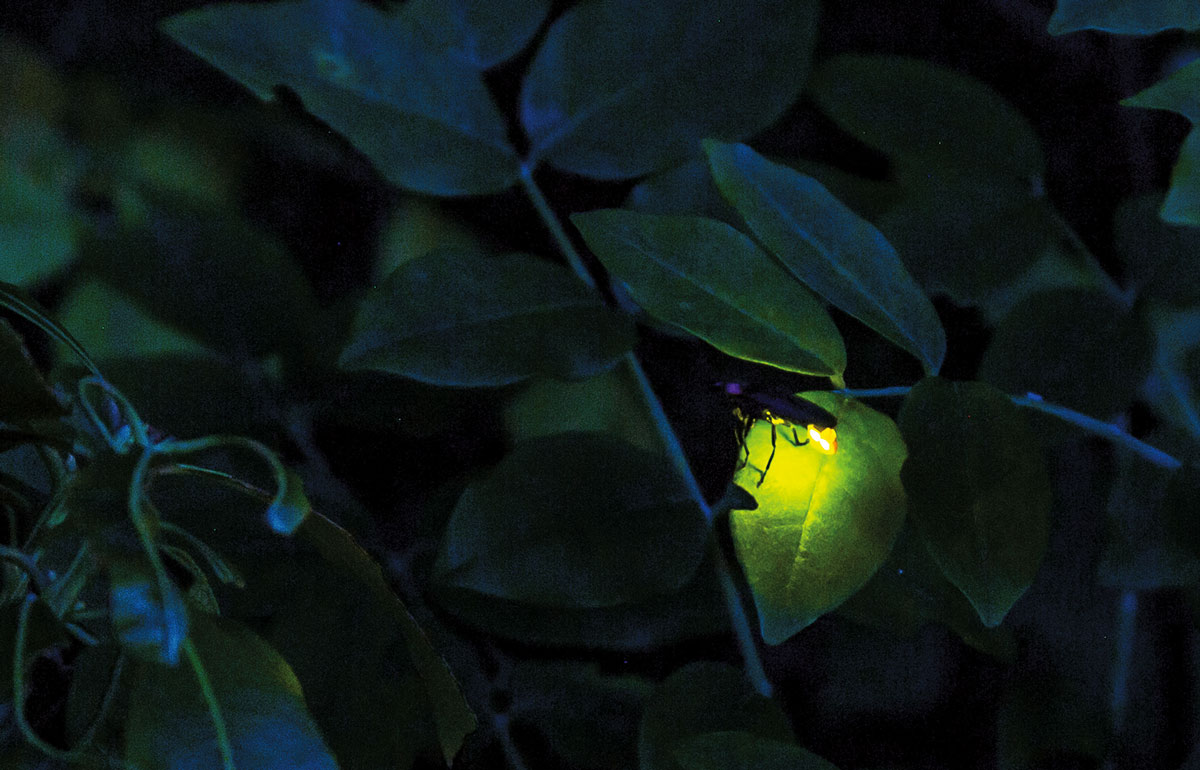 fireflies - bioluminescence
